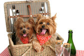 Picnic Basket of Puppies — Stock Photo