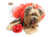 Sad Alcoholic Yorkie — Stock Photo
