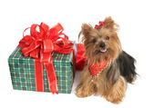 Yorkie with Christmas Gift — Stock Photo