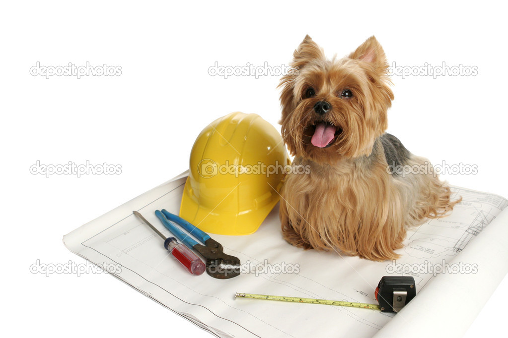 A yorkshire terrier dog working on a construction project.  Stock Photo #6833092