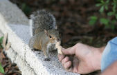 Hand Fed Squirrel — 图库照片