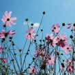 Delicate pink summer flowers with a backdrop of blue sky with cl — Stock Photo