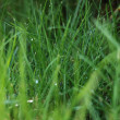 Closeup of the green grass covered dew — Stock Photo #7535778