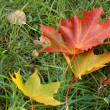 Stock Photo: Fallen leaves on bright green grass. Shallow depth of field