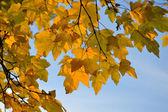 Ramo di acero in colori autunnali contro il cielo blu — Foto Stock
