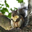 Grey squirrel — Stock Photo #6750942