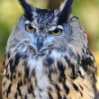 Great Horned Owl — Stock Photo #6751386