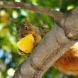Squirrel eating apple — Stock Photo