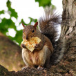 Squirrel eating cracker — Stock Photo