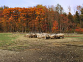Autumn in a sheep farm — 图库照片