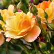 Stock Photo: Pink and yellow roses