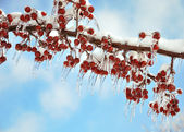 Branch with red berries after ice storm — Stock Photo