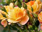 Pink and yellow roses — Stock Photo