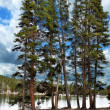 Pine Trees By Lake — Stockfoto #7334624