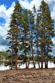 Tallar vid sjön — Stockfoto