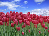 поле тюльпанов — Стоковое фото