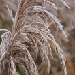 Closeup of frosted sedge — Stock Photo #7333103