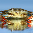 Live blue crab — Stock Photo