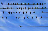 Pigeons on Electric Wire — Stock Photo