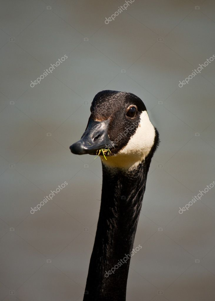 Outdoor photo of a canada goose — Stock Photo #7139285