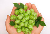 Flowers and leaves of hop in the palm — Stock Photo