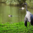 Crane standing near lake — Foto Stock #7022750