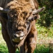 European bison walking from forest — Stock Photo