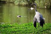 Crane standing near the lake — Stock Photo
