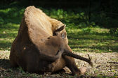European bison resting in the meadow — Stock Photo