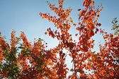 Autumn tree with red leafs — Stock Photo
