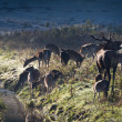 Roaring deer with herd standing near river on meadow at — Foto Stock #7267002