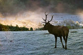 Majestic Bull on the meadow at sunrise — Stock Photo