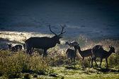 畜群鹿站立的日出时在草原上 — 图库照片