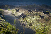 Reflection of antlers herd standing near the river at sunrise — Stock Photo