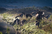 Roaring deer with herd standing near the river on the meadow at — Stock Photo