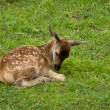 Baby deer laying on meadow — Stock Photo