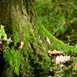 Mossy tree in forest in autumn at morning — Stock Photo