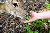 Feeding deer — Stock Photo