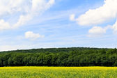 Rapeseed and woods — Stock Photo