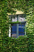 Window surrounded by ivy — Stock Photo