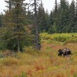 Alaskan bull moose in fall — Stock Photo
