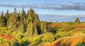 Edge of an Alaskan spruce forest in the warm evening light — 图库照片