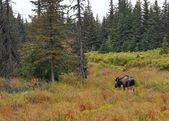 Alaskan bull moose in fall — Stock Photo
