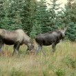 Female moose with yearling in fall — Stock Photo