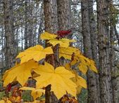 Yellow devil's club in fall — Stockfoto