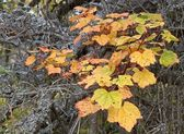 Red currant leaves in fall — Stock Photo