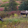 Stock Photo: Two moose in fall