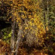 Yellow leaves in the woods — Stock Photo