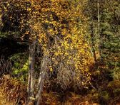 Yellow leaves in the woods — Stockfoto