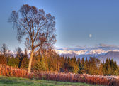 Full moon the birch tree — Stockfoto